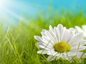 rays, grass, White, sun, Flower