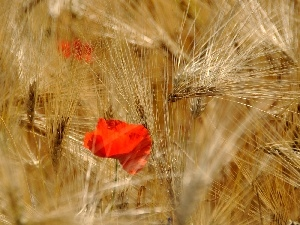 red weed, cereals, barley, Ears
