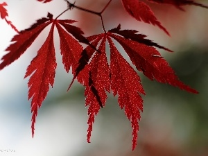 Red, Leaf, Maple Palm