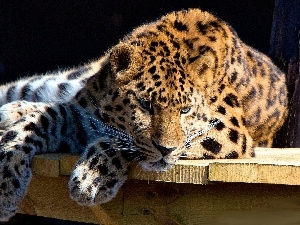 resting, Leopards