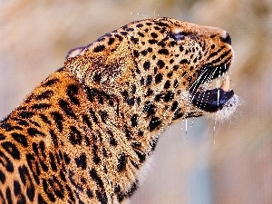 spots, roar, Leopards