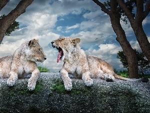 lionesses, Rocks, Two