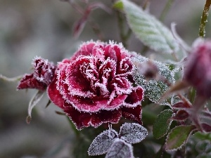 rose, frosted