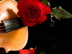 rose, red hot, instrument, musical