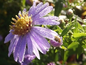Rosy, droplets, Aster, Violet