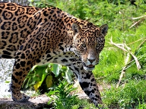 scrub, cat, Jaguar, wild