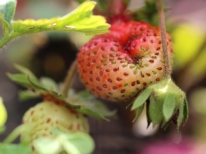 Strawberry, seeds, Ripened