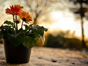 shadow, gerberas, snow, pot