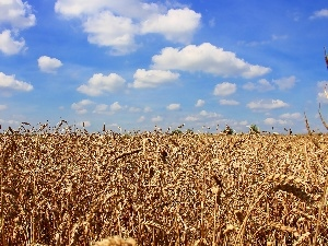 Sky, blue, corn, clouds, Field