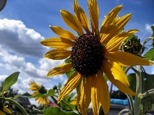 Sky, Sunflower, summer, clouds, Garden