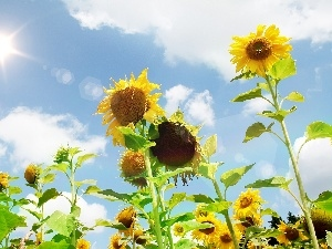 Sky, Nice sunflowers, sun