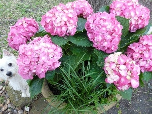 small, hidden, Pink, doggy, hydrangea