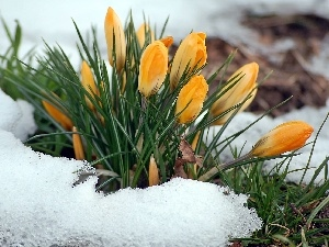 snow, yellow, crocus, Spring, blur, clump