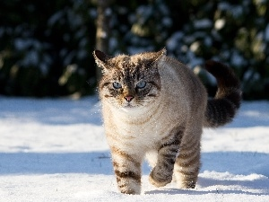 cat, snow, Gray