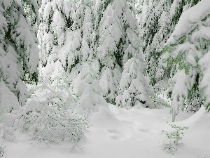 Covered, snow, Spruces