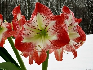 winter, snow, amaryllis