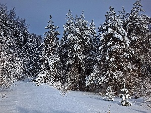 snow, Spruces, trees, winter, viewes