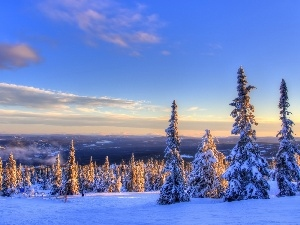 snow, Spruces, west, winter, sun