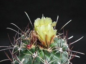 Spikes, Flowers, Cactus, Yellow