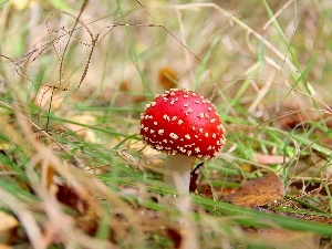 grass, Spots, White, mushroom, Hat, toadstool, Red