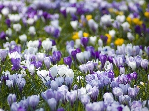 crocuses, Spring, color
