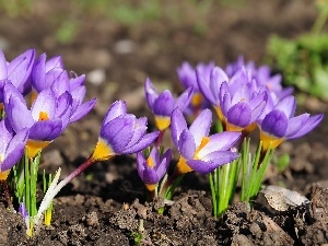 crocuses, Spring, purple