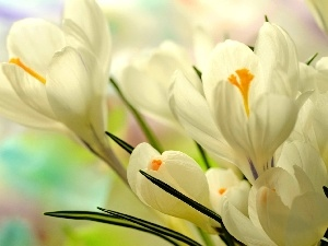 crocuses, Spring, White