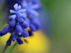 Spring, Colourfull Flowers, Muscari, blue