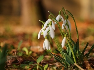 Spring, Flowers, snowdrops, White