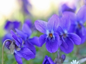 Spring, Flowers, fragrant violets, purple