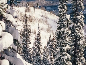 Spruces, Mountains, Snowy, slopes