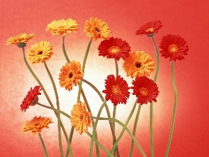 stems, gerberas, yellow, Red