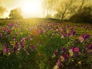pansies, sun, Meadow