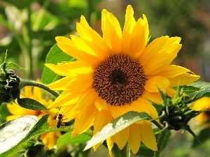 rays, sun, Sunflower