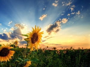 sun, rays, Sunflower, Field