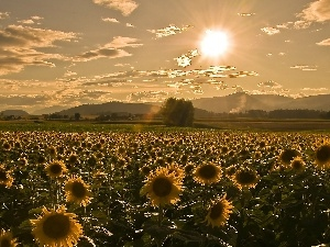 sunflowers, sun, Field