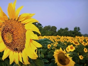 Sunflower, Field