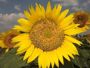 Sunflower, Colourfull Flowers, Yellow