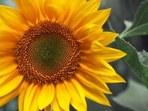 lonely, Sunflower, colossal