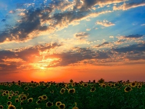 sunflowers, Field, west, sun