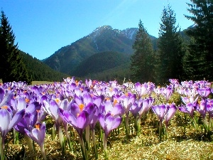 Tatras, crocuses