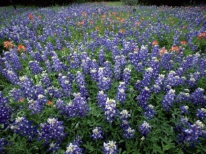 Teksas, Hill Country, Field, Lupin