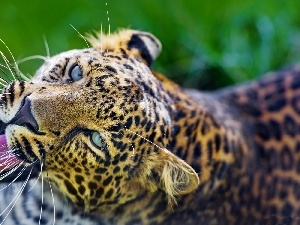 The look, Eyes, Leopards, Head