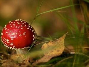 toadstool, Red