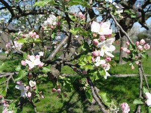 apple-tree, Blossoming