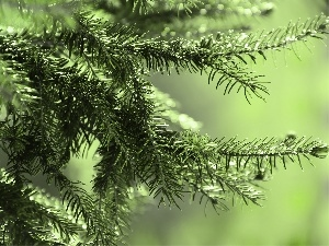trees, needle, pine, green ones