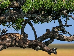 trees, Leopards