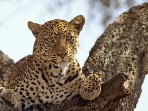 Leopards, trees, Resting