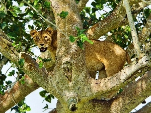 trees, Lioness
