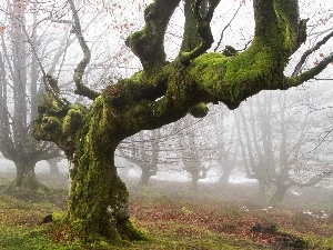 Moss, trees, curves, autumn, Leaf, Fog, old